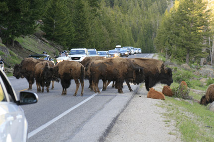 Buffalo in middle of road